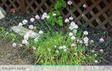 Flowering Chives