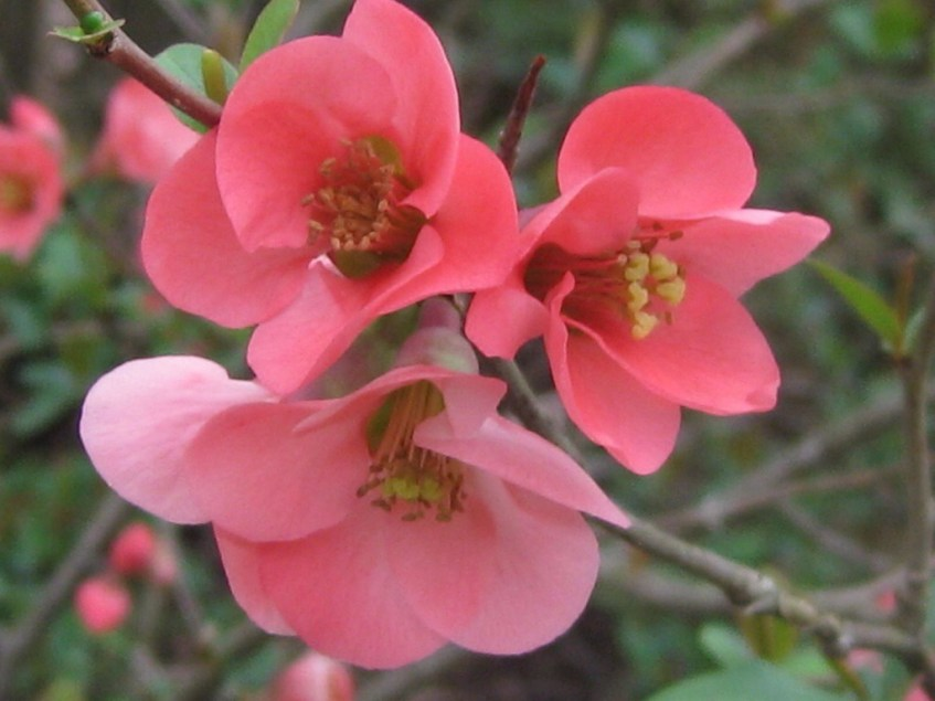 Japonic or Flowering Quince