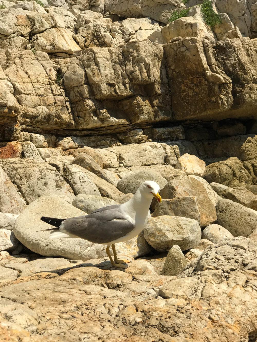 goeland plage cap d'antibes sentier du littoral