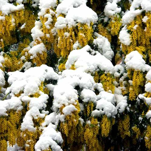 mimosa-neige-nice-cote-dazur-fevrier-2018