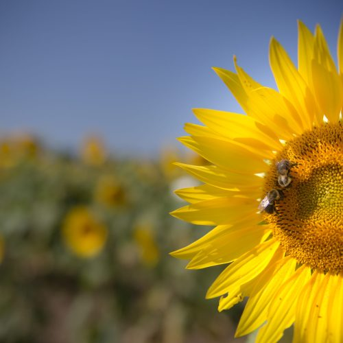 MariesSunflowers-3