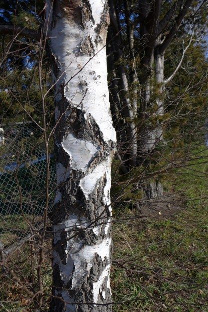 Silver Birch trunk markings