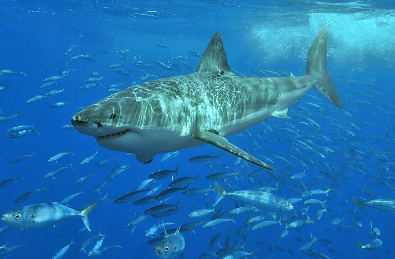 top-10-most-incredible-shark-journeys-130801-great-white-670x440