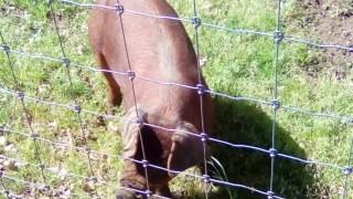 wild pigs (4)