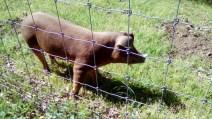 wild pigs (5)