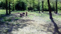 wild pigs (9)