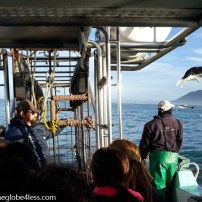 Cage diving with great white sharks-2