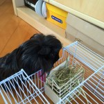 Guinea is a guinea pig – the perfect pet!