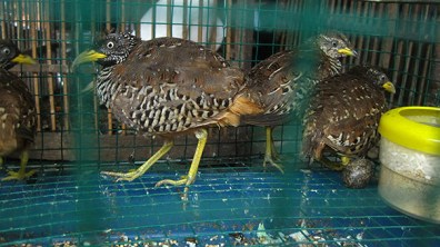 Illegal sell of endangered birds
