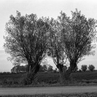 Old willows by the road