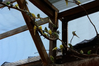 Count the budgies!