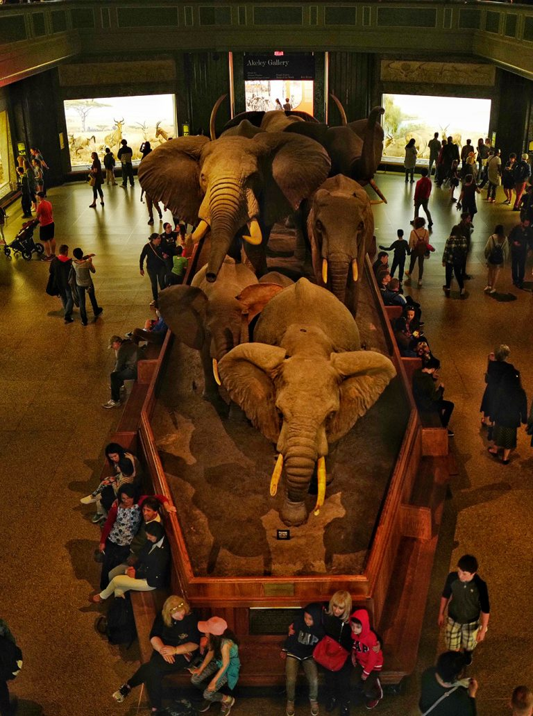 Mammal elephant Museum of natural history