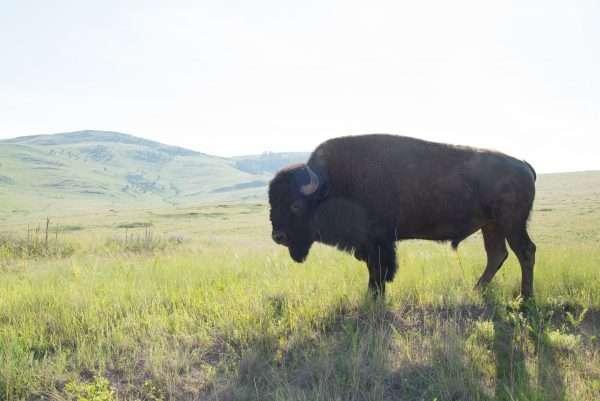 Bison National Range Bison Profile