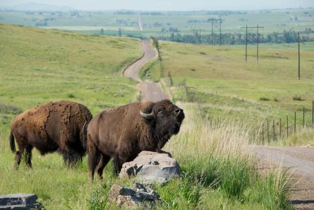 Bison National Range Scratching Bison