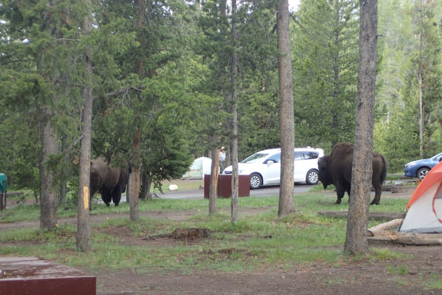 Bison in Our Campsite