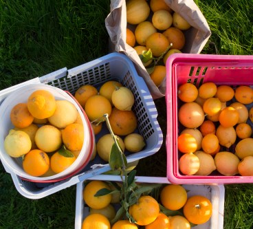 Just-Picked Citrus at Peacock Ranch