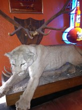The evicted mountain lion at the Buckhorn Tavern