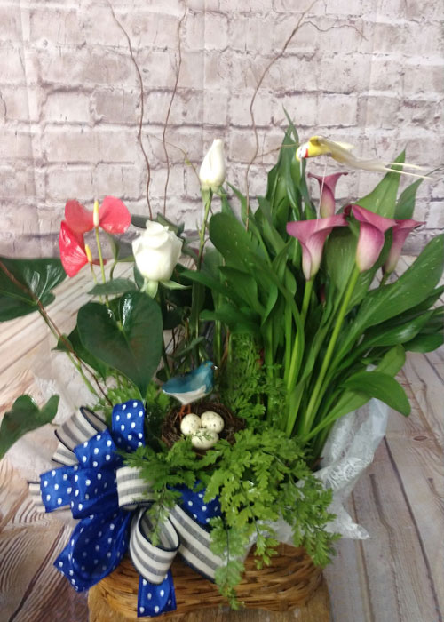 Garden of blooming plants, anthurium, calla lilies and green plants