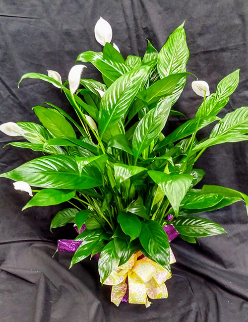 Sympathy and Funeral Arrangements - Sympathy Plants - From the Heart Florist
