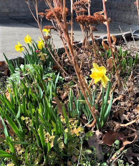 Daffodils for LfL