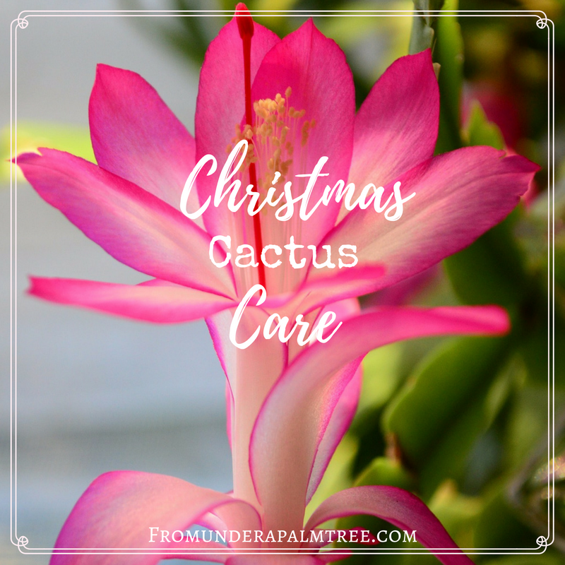 caring for a christmas cactus here are tips for taking care of your christmas cactus - How To Take Care Of Christmas Cactus