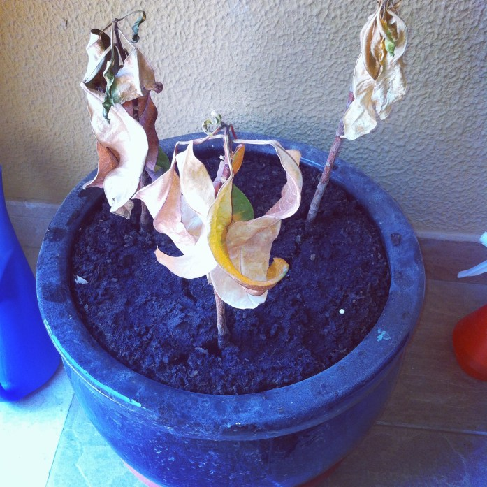My dried up plant