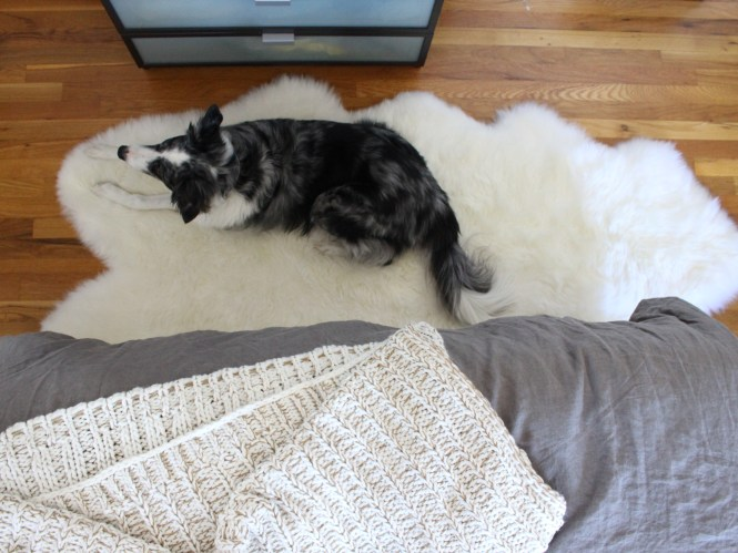 Durable sheepskin rug, dog, blue merle border collie