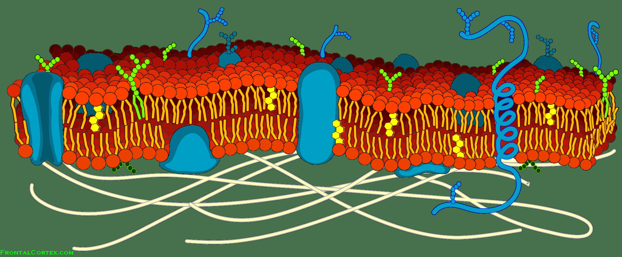 Cell Membrane Detailed Diagram Blank