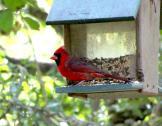 n cardinal
