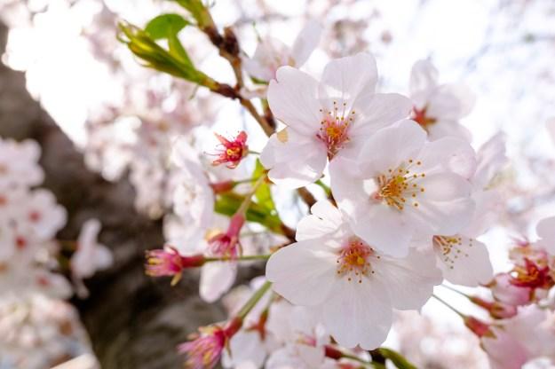 桜の画像1