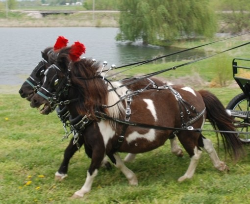 mini horse team parade harness