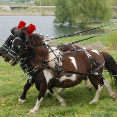 mini horse team parade harness