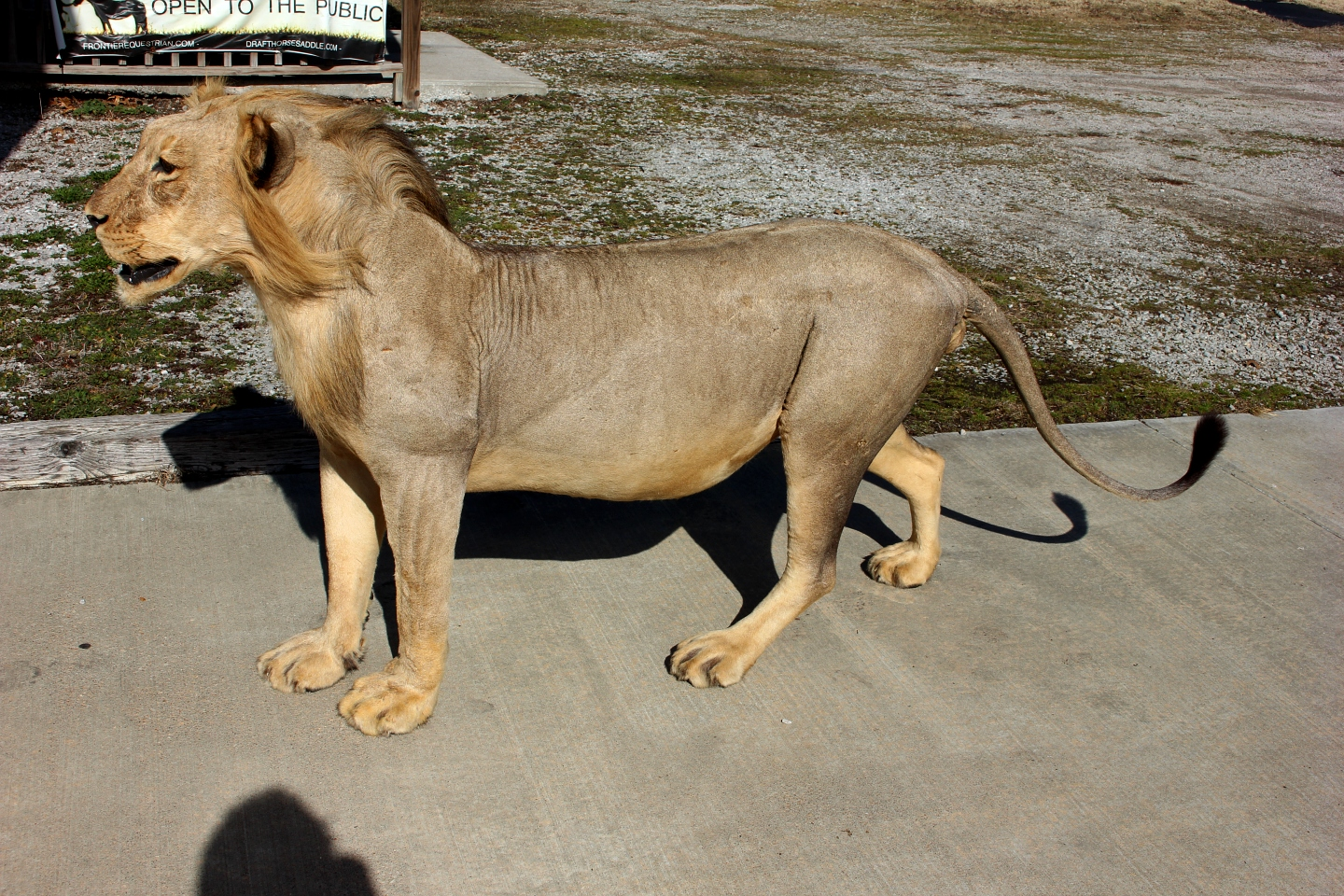 Genuine male African Lion full body taxidermy mount