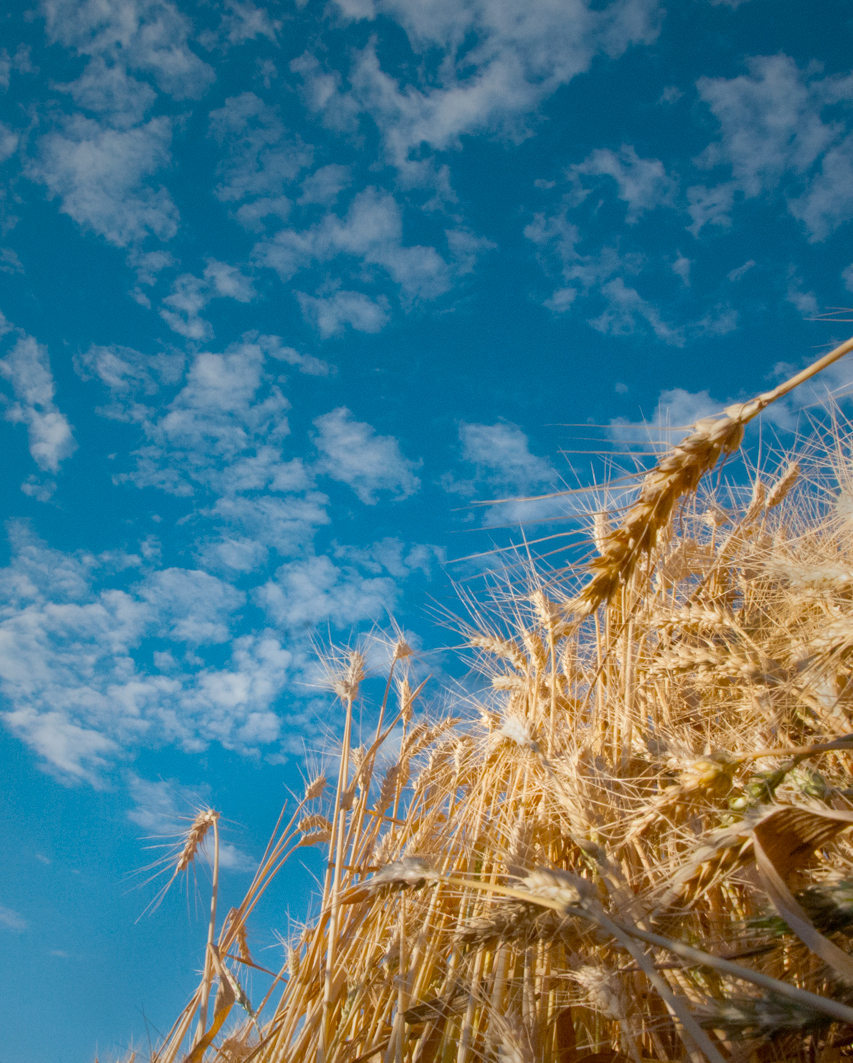 Ripe wheat and Montana sky