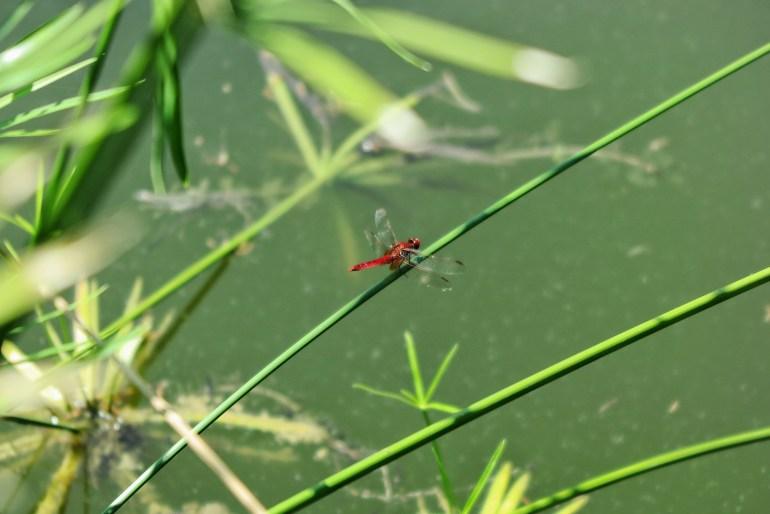 libellule rosse mincio