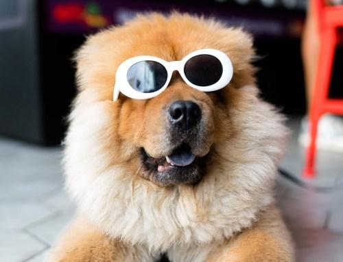 Dog in sunglasses