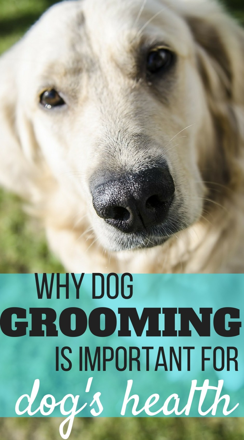 It is easy to think dog grooming is just to make the appearance of your dog more presentable, but there is more to it! Grooming your dog on a regular basis is important for your dog's health. I will share the importance of grooming for your dog's health in this article.