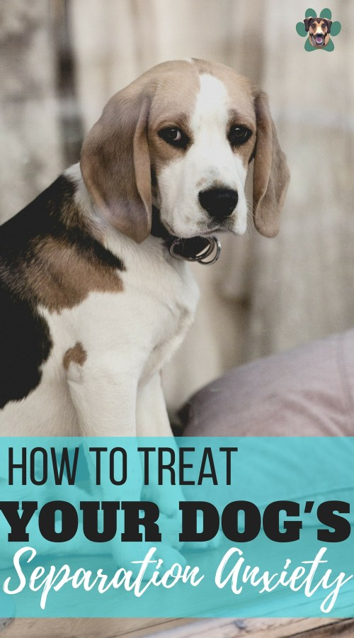 Just as anxiety is common in humans, dogs are also a victim of this behavioral issue. Dogs may experience anxiety due to many reasons such as loud noises, change in routine, traveling, fear, and aging or due to separation. Learn how to treat your dog's Separation Anxiety.