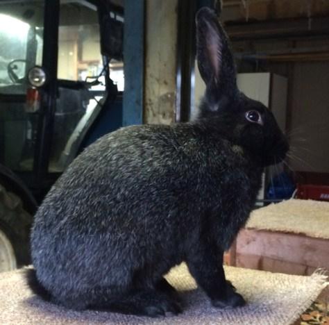 Deltaker på kaninutstillingen på Folkheim
