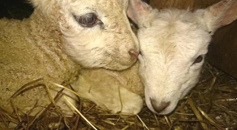 Nær kontakt med lamming på Hojem gård. Foto: Roar Stene