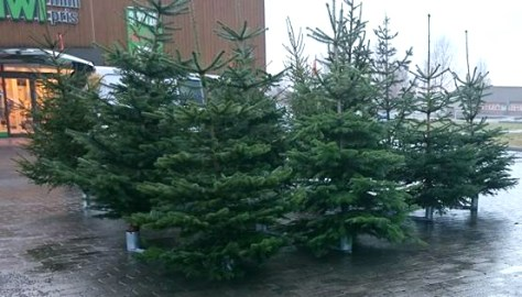 Roar tilbyr et godt utvalg av juletrær fra egen skog i Hojem