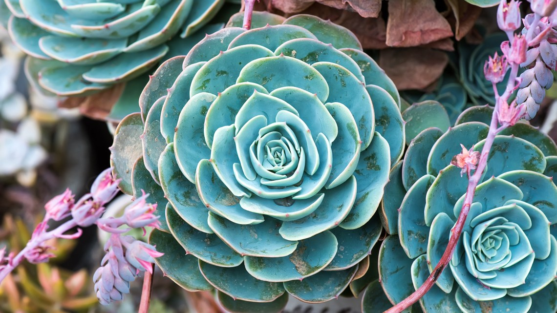 Succulents for Sale -Succulent Plants Online where to buy for your succulent garden, wedding decor, wedding favors via frostedMOMS.com