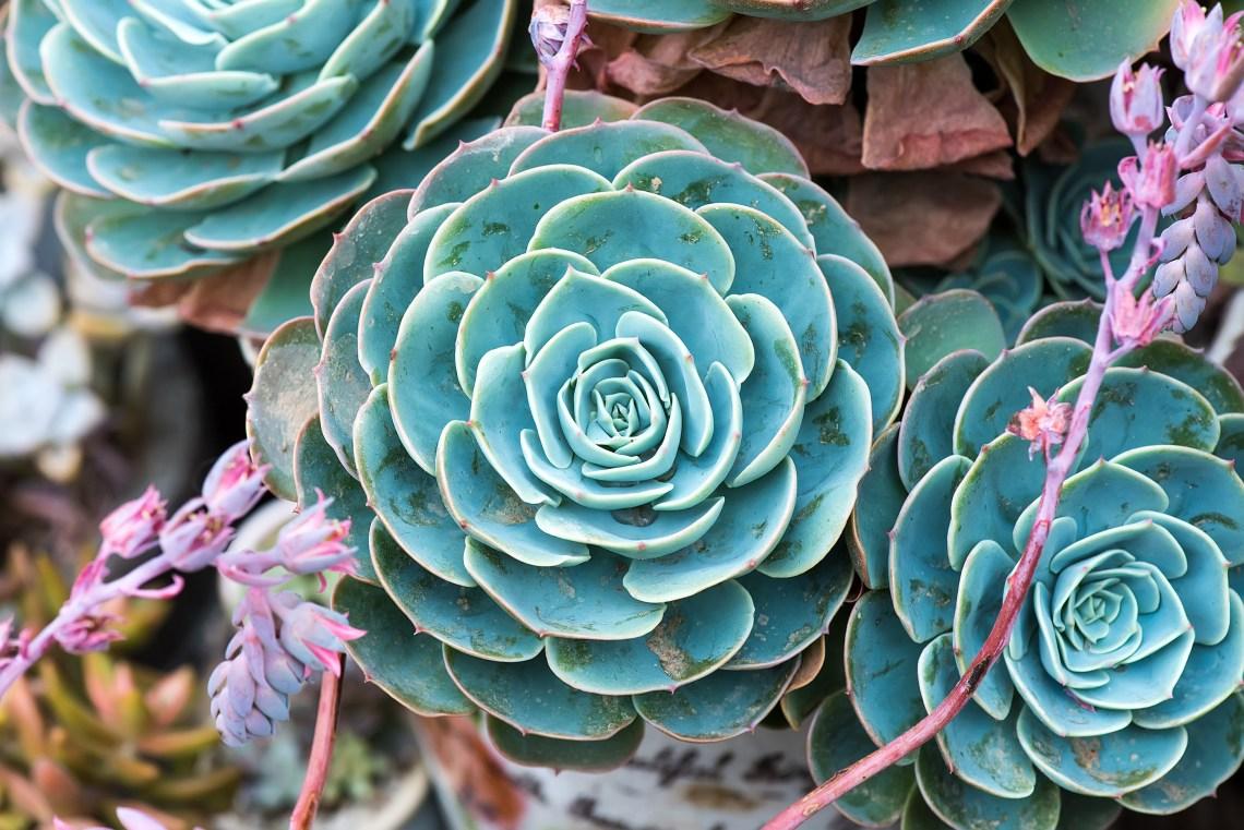 Succulents for Sale -Succulent Plants Online where to buy for your succulent garden, wedding decor, wedding favors via frostedMOMS.com