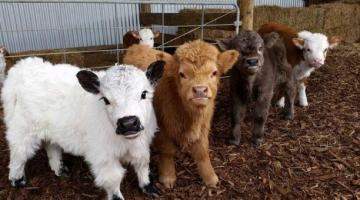 Mini Cows- miniature cattle, own mini cow as a pet