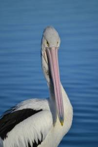 12.pelican