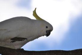 14.sulphur-crested cockatoo