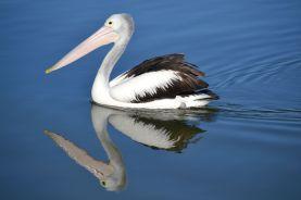 20.pelican reflection