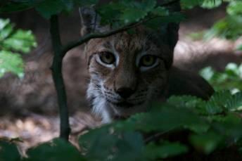 26.lynx
