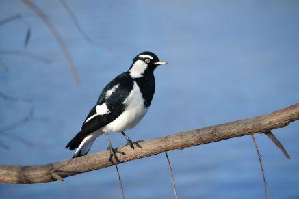 33.magpie-larkjpg