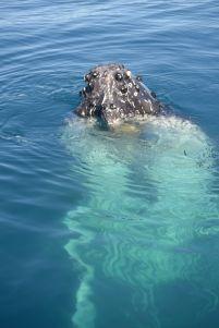 36.humpback whale